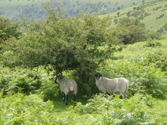 Sheep on Dartmoor